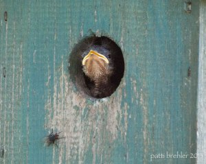 A close shot of the hole in a wooden birdhouse, the wood is faded teal colored paint. The beak of a baby brownheaded cow bird is sticking out of the hole. There is a flie on the wood just below and to the left of the hole.